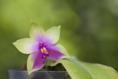 Phalaenopsis bellina x violacea 1