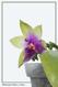 Phalaenopsis bellina x violacea 2