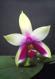 Phalaenopsis violacea