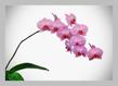 Phalaenopsis hybrid 2