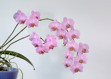 Phalaenopsis hybrid - red