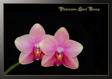 Phalaenopsis Sweet Revange