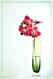 Pjalaenopsis hybrid, cut flower