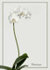 Phalaenopsis hybrid - white 2