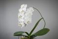 Phalaenopsis hybrid - white
