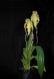 Phragmipedium wallisii x longifolium