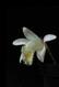 Pleione albiflora 1