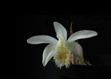 Pleione albiflora 2