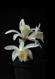 Pleione albiflora 3