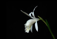 Pleione formosana alba 1