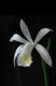 Pleione formosana alba 2
