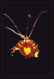 Psycopsis papilio
