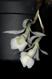 Tricophilia juninensis 1