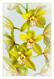 Cymbidium hybrid yellow