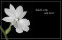 Calanthe vestita subsp harisii