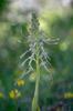 Himantoglossum hircinum, Gargano 2016-04-21