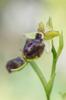 Ophrys sphegodes ssp tarquinia, Gargano (It.) 2016-04-17