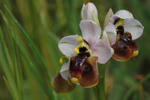 Ophrys_aprilia_2