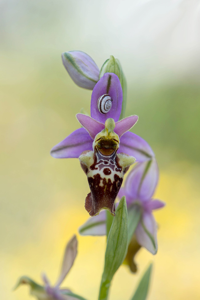 Ophrys apulica, Gargano, (It.) 2016-04-22