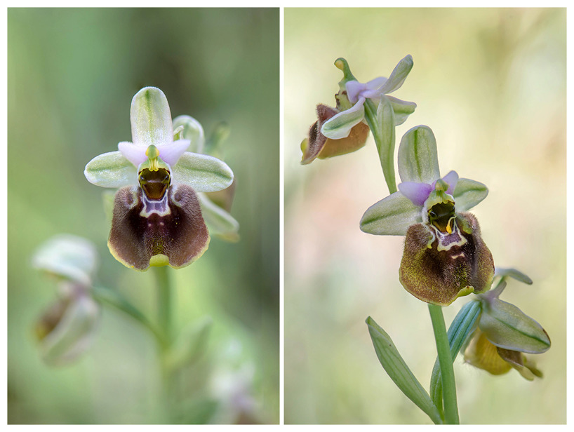 Ophrys parvimaculata, Gargano (It.) 2016-04-20