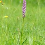 Mycket storväxt brudsporre, möjlig praktsporre (Gymnadenia conopsea subsp. densiflora)?