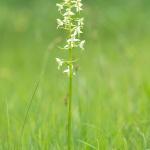 Grönvit nattviol, Platanthera chlorantha