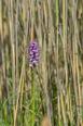 Dactylorhiza majalis subsp. baltica, Gotland (SE) 2016-06-15