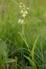Epipactis palustris, grönvit form, Kinnekulle 2016-07-02