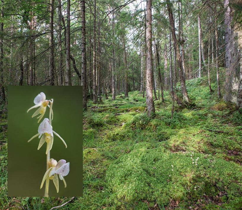 Skogsfru-lokal vid Öresjö, 2016-07-25