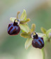 Ophrys_minipassionis_2