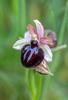 Ophrys sipontensis, Gargano (It.) 2016-04-17