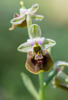 Ophrys parvimaculata, Gargano (It.) Gargano (It.) 2016-04-20