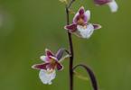 Epipactis palustris, Kinnekulle 2011-06-06