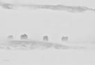 RondMyskoxar i snöstorm, Dovreane 2012 - 229 rez