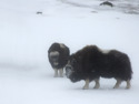 Myskoxar i snöstorm, Dovre