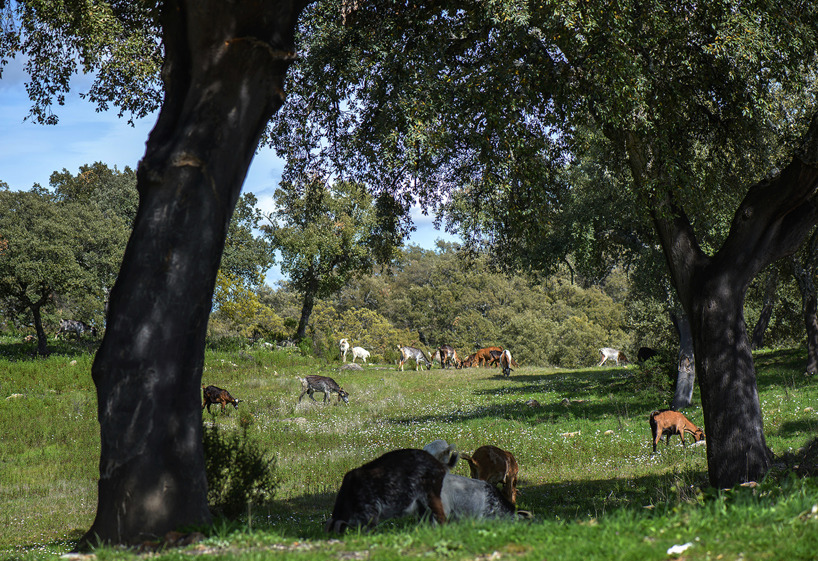 Almost paradise. Goats grazing peacefully under the cork oaks in the Andalusian countryside.