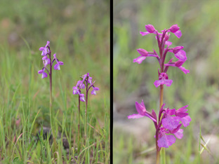 Anacamptis champagneuxii and to the right the hybrid champagneuxii x papilionacea