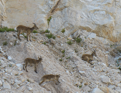 Barbary sheep