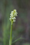 Neotinea maculata var alba