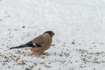 Domherre / Eurasian Bullfinch / Pyrrhula pyrrhula