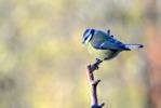 Blåmes / European Blue Tit / Cyanistes caeruleus