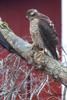 Sparvhök / Eurasian / Sparrowhawk / Accipiter nisus