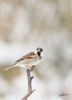 Gråsparv / House Sparrow / Passer domesticus