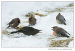 Koltrast / Common Blackbird / Turdus merula