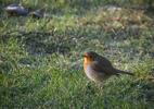 Rödhake / European Robin / Erithacus rubecula