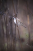 Pilfink / Eurasian Tree Sparrow / Passer montanus