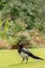 Skata / Common Magpie / Pica pica