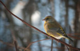 Grönfink / European Greenfinch / Chloris chloris