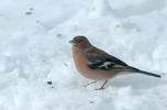 Bofink / Common Chaffinch / Fringilla coelebs