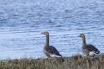 Grågås / Greylag Goose / Anser anser